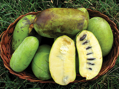 Pawpaw MU Extension
